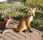 Young fox getting some rays 5-28-05.jpg